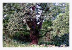 Birnam Oak 2
