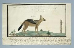Jakhals of Kaapse vos (Canis mesomela), een reu
