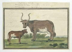 Kaapse koe en haar kalf