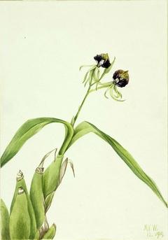 Orchid (Epidendrum cochleatum)