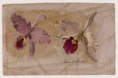 Study of Lealia Purpurata and Another Orchid