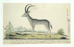Bloubok (Hippotragus leucophaeus)