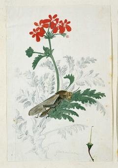 Geranium (Pelargonium fulgidum L'Hérit) met rechtsonder de stamper