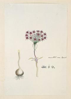Hessea cinnamomea, met detailstudies van de knol en bloeiwijze