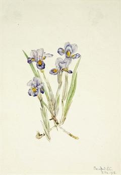 Vernal Iris (Iris verna)