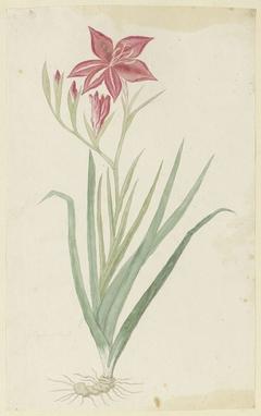 Gladiolus, met knol