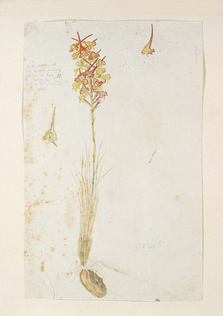 Disa porrecta, met detailstudies van de bloeiwijze