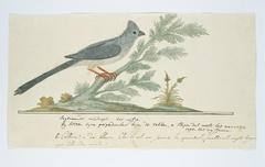 Gevlekte muisvogel (Colius striatus); het wijfje
