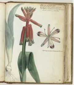 Kaapse bloem