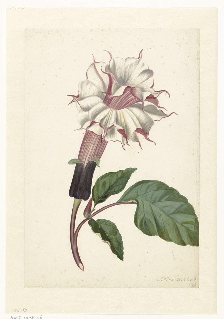 Plant Datura Fastuosa Lin.