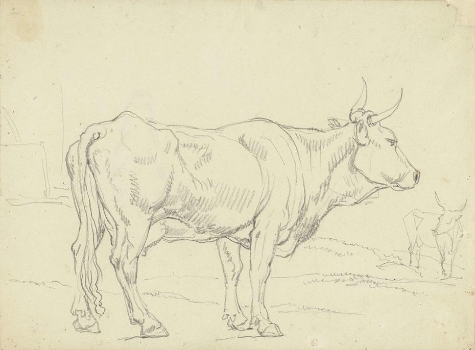 Staande koe, van opzij gezien, naar rechts