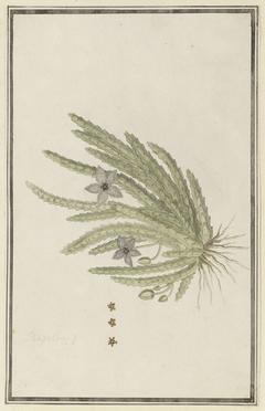 Stapelia paniculata, met detailstudies van bloeiwijze