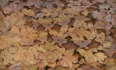 Copperhead Snake on Dead Leaves, study for book Concealing Coloration in the Animal Kingdom