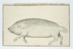 Dode duinmol (Bathyergus suillus), of zandmol