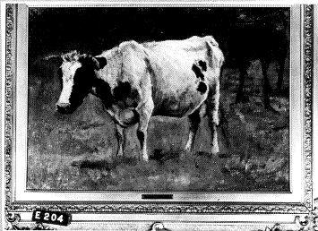 Een koe