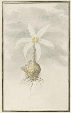 Gethyllis; de knol met bloem