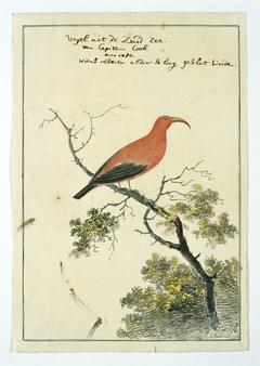 Kardinaalhoningeter (Vestiaria coccinea) uit de Zuidzee