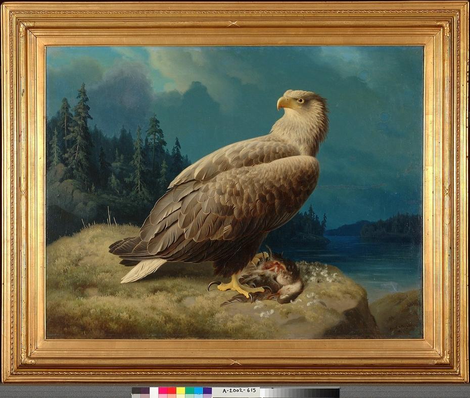 Old White-Tailed Sea Eagle