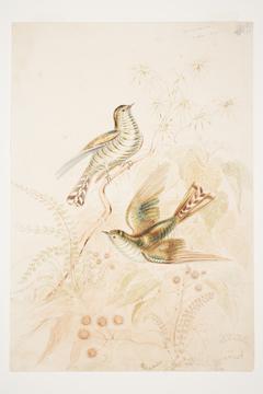 Pipi wau rau roa [Pipiwharauroa] Cuckoo N.Z.