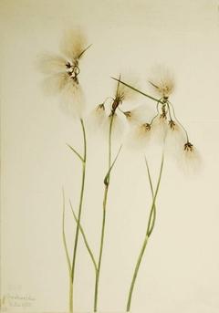 Tassel Cottongrass (Eriophorum angustifolium)