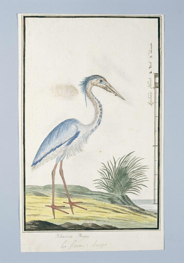 Blauwe reiger (Ardea cinerea)