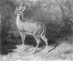 Deer—Sketch from Nature