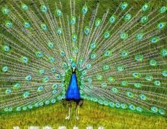 Peacock Pride