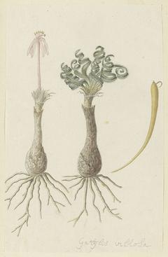 Gethyllis lanuginose; links de knol met bloem, rechts de knol met bladeren en daarnaast een peul