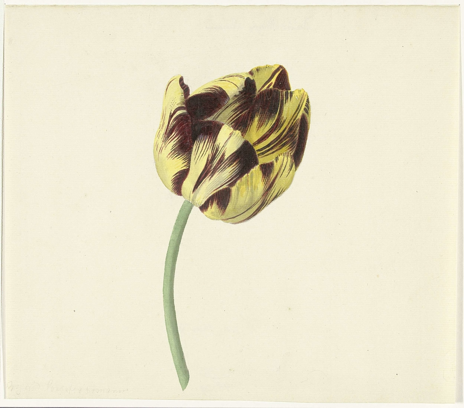 Tulp genaamd Bizard Pontifex Romanus