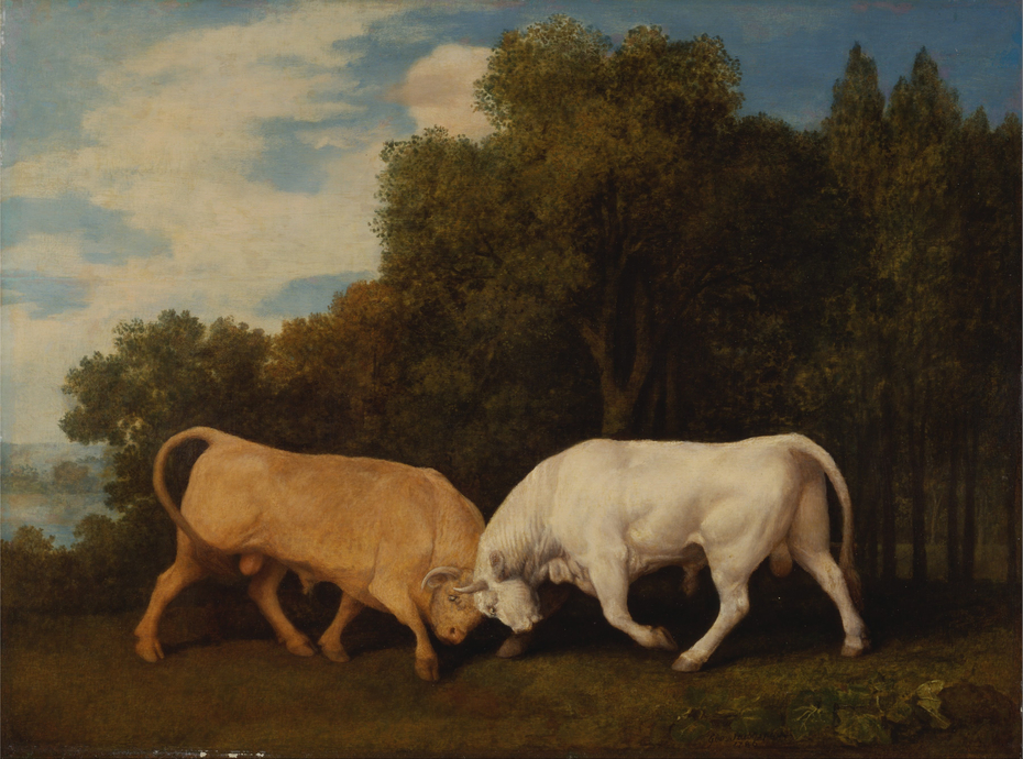 Bulls Fighting