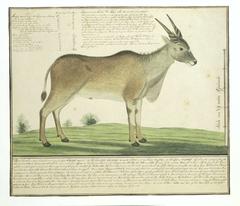 Elandantiloop (Taurotragus oryx)
