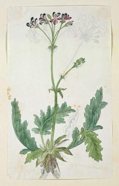 Geranium (Pelargonium pulchellum Sims)