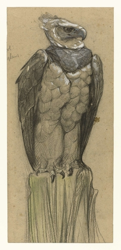 Harpij (thrasaëtus harpyja)