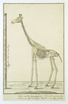 Skelet van een giraf (Giraffa camelopardalis)