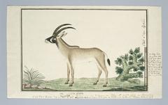 Bastergemsbok (Hippotragus equinus)