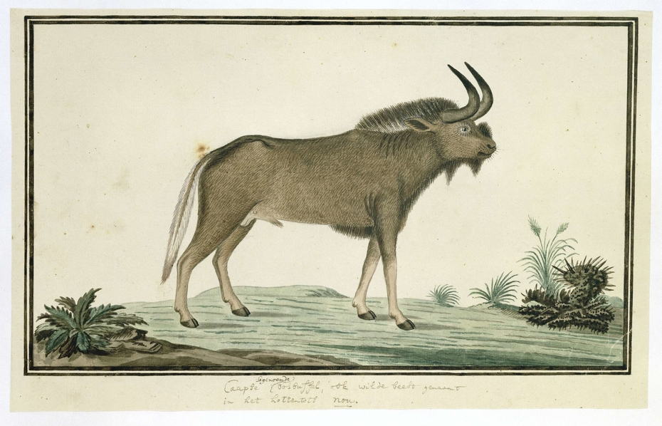 Witstaart gnoe (Connochaetes gnou), of Kaapse bosbuffel of ook wildebeest genaamd